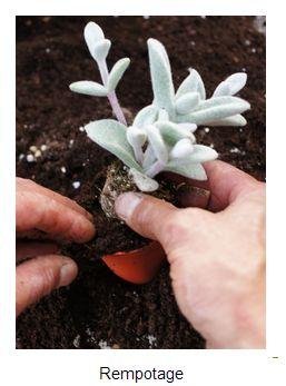 17 best images about plantes jardin on pinterest gardens succulents and culture - Plantes grasses entretien ...