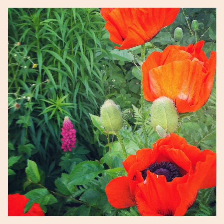 Our garden is full of beautiful poppies.