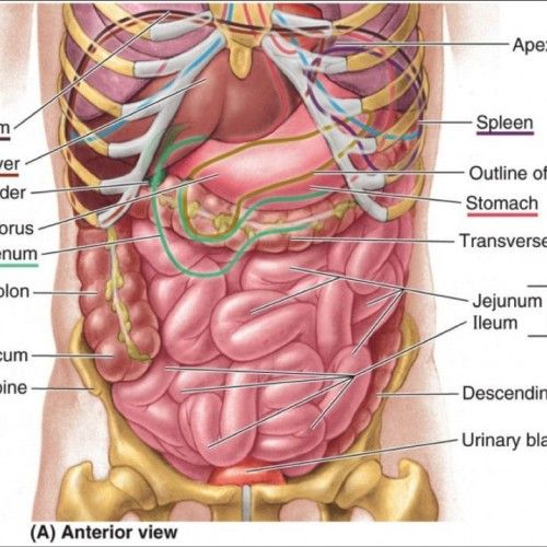 Human Stomach Anatomy Diagram | Human Anatomy Body Picture