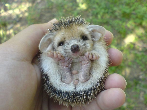 Baby Hedgehog. Can it get much cuter around here? #adorable
