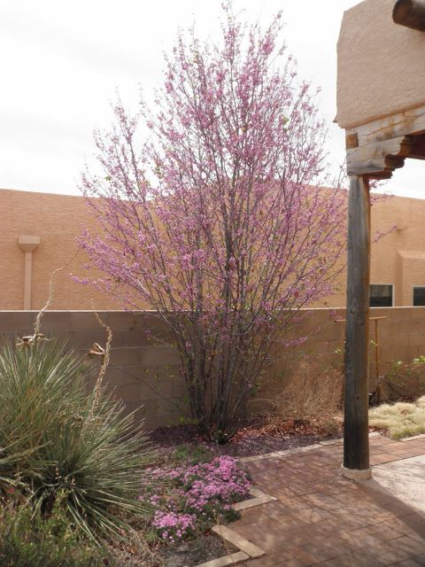 25 best drought tolerant trees images on pinterest for Fast growing drought tolerant trees