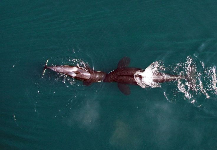 Gyilkos bálnák, ahogy még nem láttuk őket