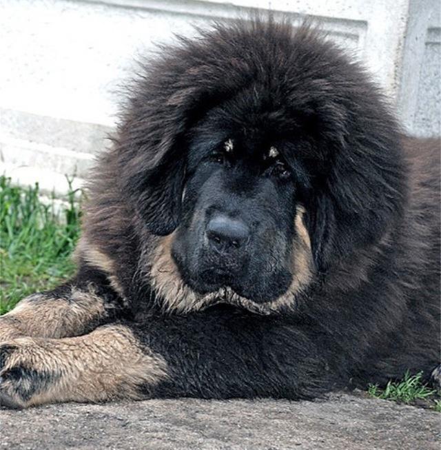 les 25 meilleures id es de la cat gorie dogue du tibet vendre sur pinterest prix chiot dogue. Black Bedroom Furniture Sets. Home Design Ideas