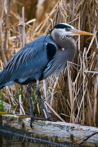 Great blue heron, Washington Park Arboretum, Seattle, Washington