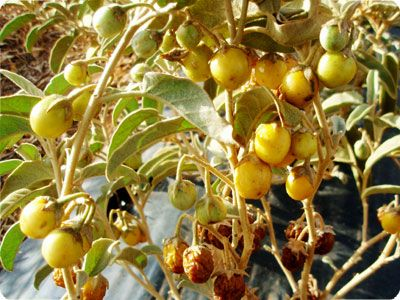 "Australian desert raisin (Bush raisin, bush tomato,Akatjurra)- Solanum centrale The fruits have a strong, pungent taste of tamarillo and caramel that makes them popular for use in sauces and condiments. They can be obtained either whole or ground, with the ground product (sold as ""kutjera powder"") easily added to bread mixes, salads, sauces, cheese dishes, chutneys, stews or mixed into butter. Mardu people would skewer bush tomatoes and dry them so the food was readily transportable."