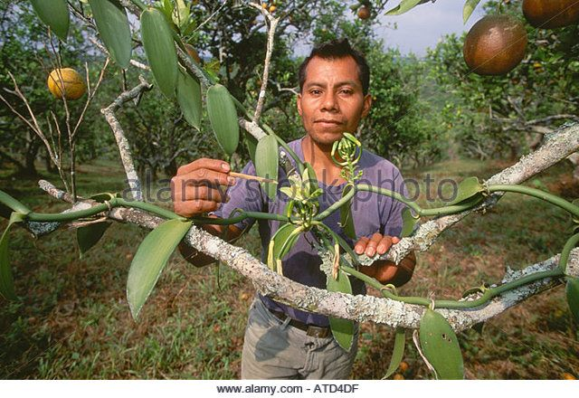 Man hand pollinating commercial vanilla orchid flowers near Poza Rica Veracruz state in Mexico - Stock Image