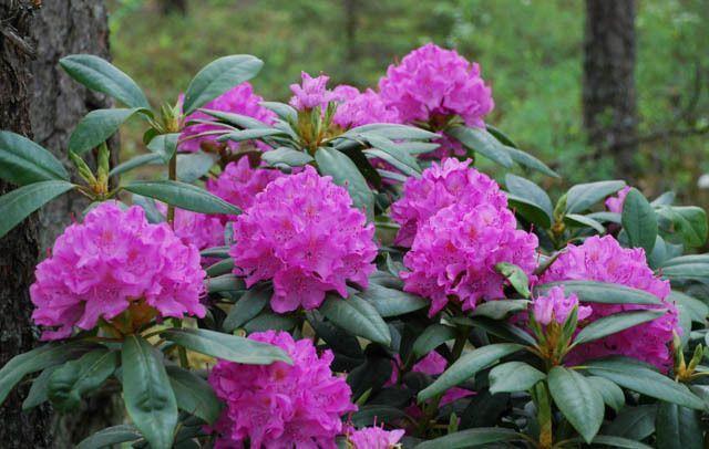 Rhododendron 'English Roseum', 'English Roseum' Rhododendron, Late Midseason Rhododendron, Evergreen Rhododendron, Purple Rhododendron, Purple Flowering Shrub