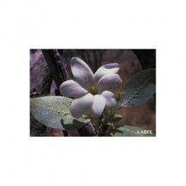Bush Gardenia