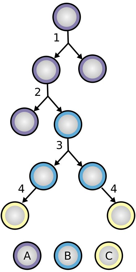 Stem cell division and differentiation. A: stem cell; B: progenitor cell; C: differentiated cell; 1: symmetric stem cell division; 2: asymmetric stem cell division; 3: progenitor division; 4: terminal differentiation