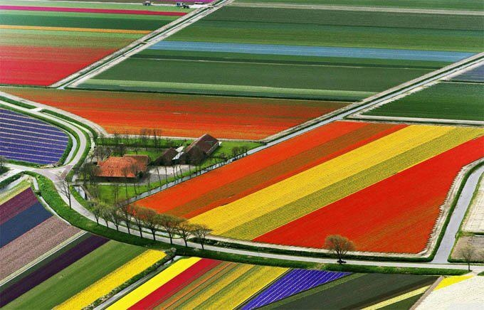 Tulip fields, Amsterdam, Holland