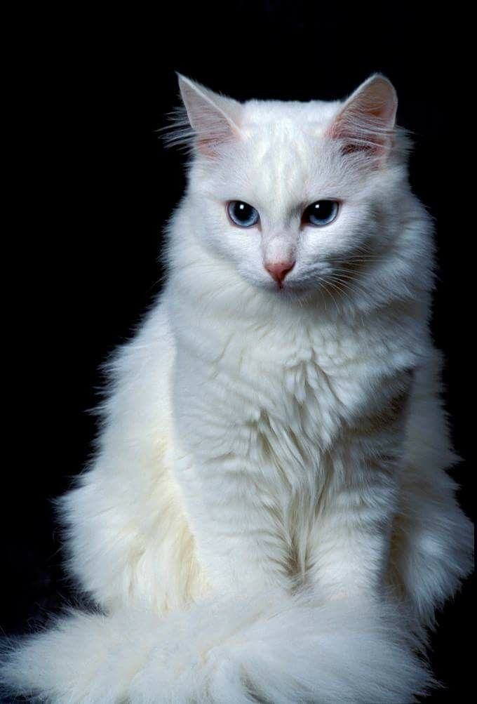 White Beautiful Cat With Images Angora Cats Turkish Angora
