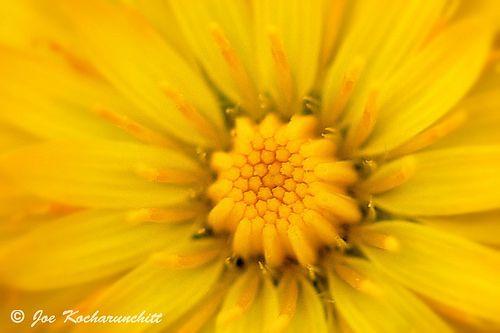 Little yellow flower: Dandelion yellow