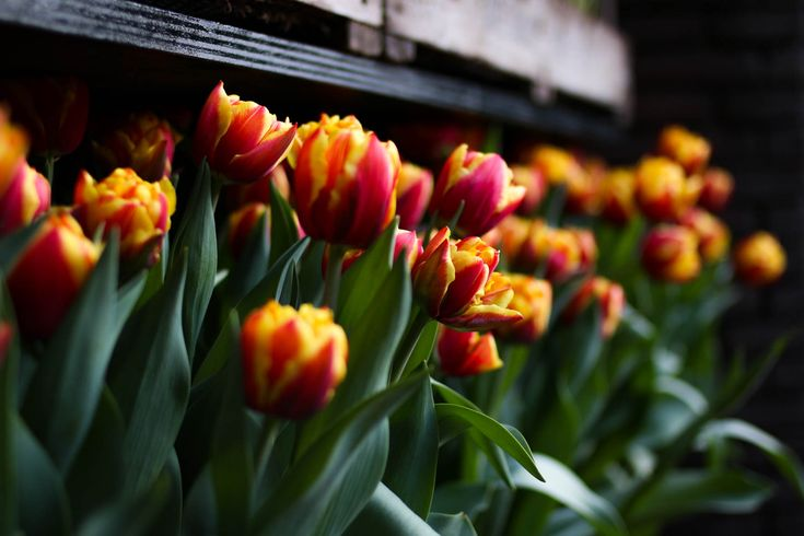 These tulips were taken at the main entrance of Hotel The Grand, Amsterdam. The Netherlands (often ...