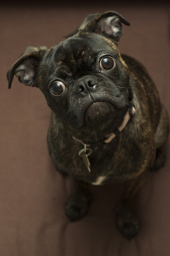 a Bugg (cross between a Pug & Boston Terrier) - every one looks different