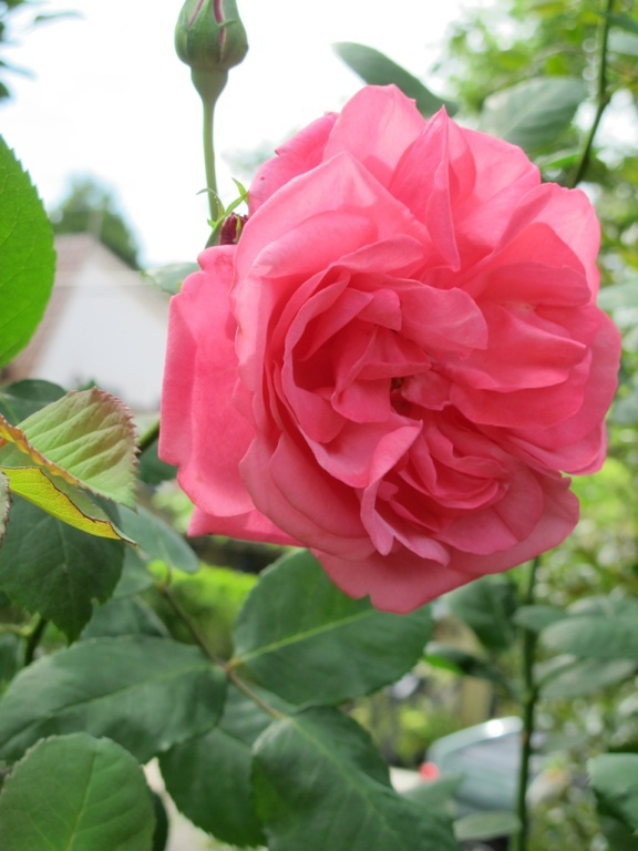 Lovely Rose :)
