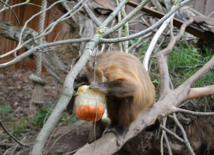 Tijdens de warme zomer maken de deelnemers van het dierenverzorgerskamp lekkere ijslolly's voor de aapjes! :) Meer foto's op de fb pagina van De Zonnegloed: https://www.facebook.com/pages/De-Zonnegloed/118423168264907?fref=ts