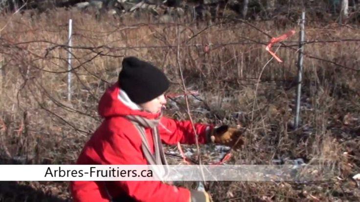 Apprenez comment tailler vos plants de vignes à raisin et comment les protéger pour l'hiver. Les éléments clés à ne pas oublier sont présentés en 4 étapes: 1...