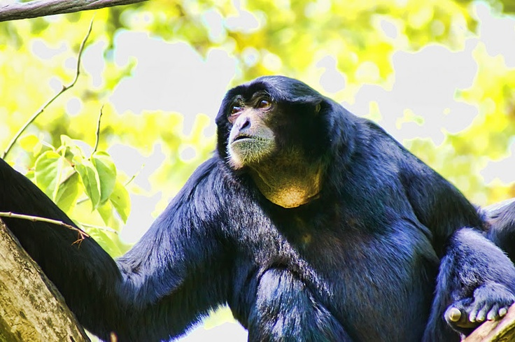~ Howler Monkey ~: Howler Monkey, Animals Insects, Heartsong Photography, Tropical Wildlife