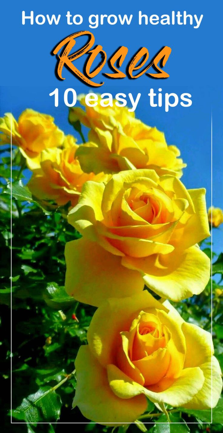 Simple Rose Garden: How To Grow Healthy Roses 10 Easy Tips