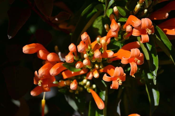 Pyrostegia venusta. It is flowering at the moment. It's a visual cacophony (terrible metaphor, but still).