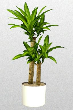 10 in dracaena fragrans potted house