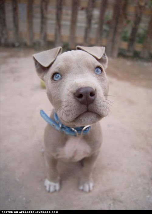 LOVE THE BEAUTIFUL PUPPY AND THE AMAZING BLUE EYES!!!! SO ADORABLE!!!! Fawn Pit