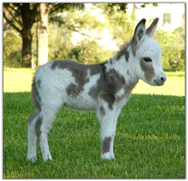 Miniature Paint Donkey | Painted Rose, spotted miniature donkey for sale