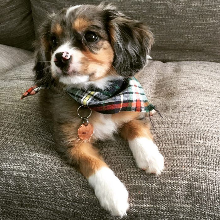 The Australian Shepherd And Cavalier King Charles Mix A Complete Guide Animal Blog The Australian Shepherd In 2020 Aussie Welpen Australische Schaferhunde Hunde