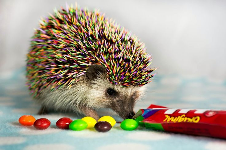 Hedgehog Wallpapers Hd Hedgehog Pet Adorable Pictures