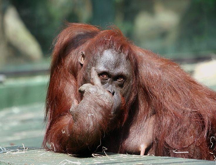 Foto Lucu Monyet Gokil ~ Kumpulan Gambar  Foto Binatang, Hewan