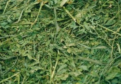 contrary to popular opinion, alfalfa hay is a very suitable feedstuff for horses that have suffered a bout of laminitis. The high quality pr...