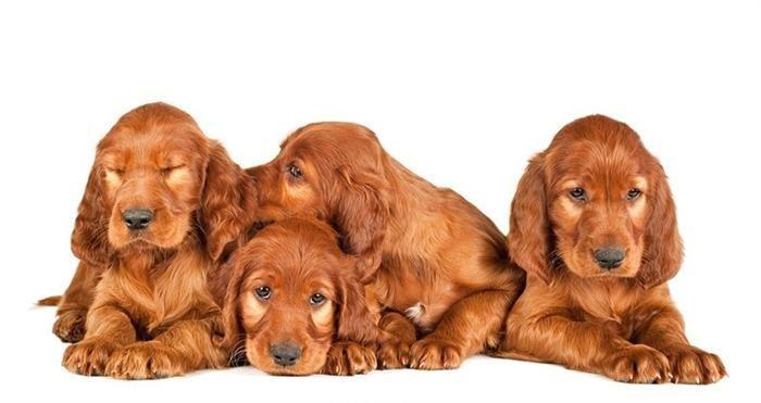 Dia de Cachorrinhos Setter Irlandês