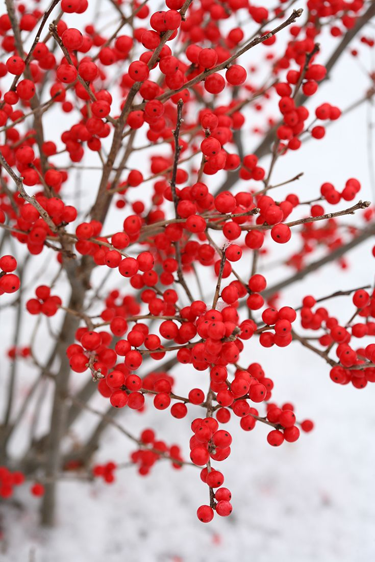 Native Berry Poppins® winterberry holly (Ilex verticillata) stays a petite 3-4' tall and wide.
