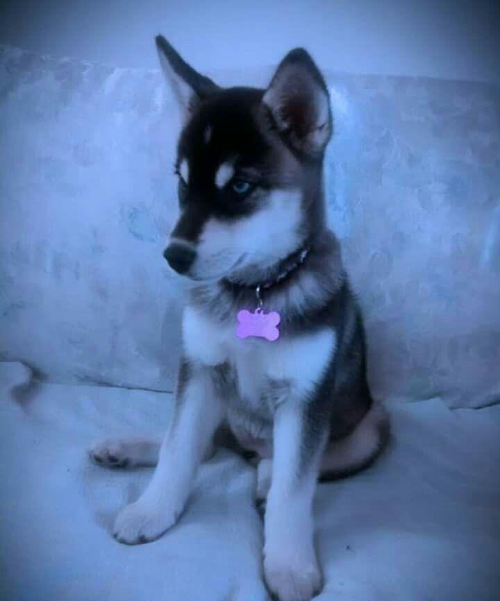 Husky siberian 4 meses