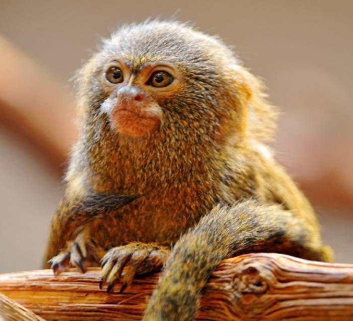 Pygmy Marmoset Monkey (DwergzijdeAapje)