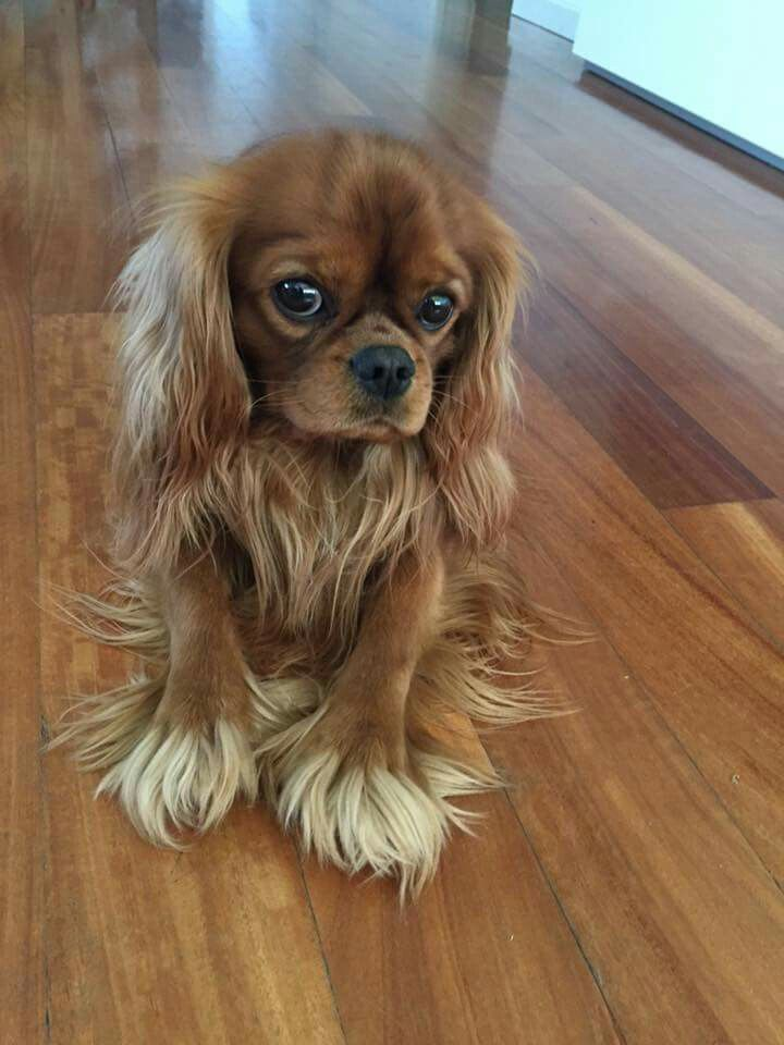 Cavalier King Charles Spaniel Ruby George Pictures to Pin