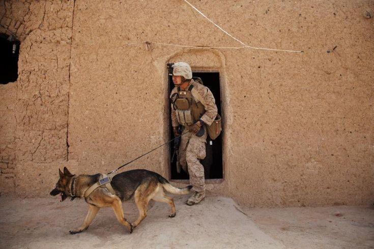 U.S. Marine Corps Lance Cpl. Joseph Nunez from Burbank, Calif., and Viky, an improvised explosive device detection dog, both attached to Fox Company, 2nd Battalion, 2nd Marine Regiment (2/2) search a compound for hidden threats during Operation Grizzly in Helmand province, Afghanistan, July 18, 2013. Grizzly was a counter-insurgency operation to deter enemy activity, establish a presence and gather human intelligence. (U.S. Marine Corps photo by Cpl. Alejandro Pena/Released)