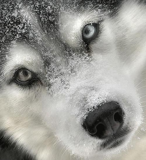 Beautiful picture!  Someone said this was a wolf, but looks like a beautiful husky face to me.  No information from the original picture.