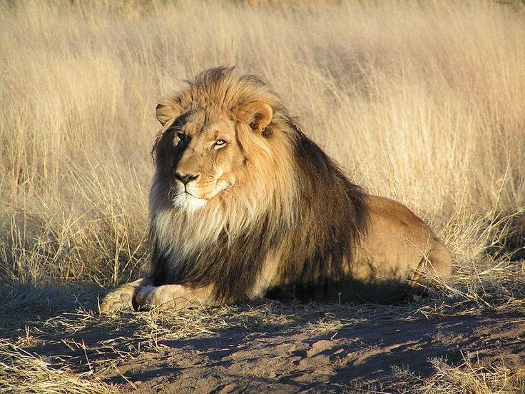 * Leão *