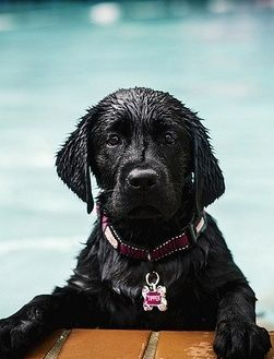 This black Labrador retriever would be at home in a mountain stream!