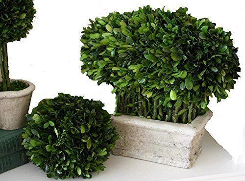 Handcrafted Potted Topiary; Large Mixed Shaped Preserved Boxwood Topiary. Boxwood Loaf in a Pot - Measures approximately 12 inches x 7 inches x 12 inches. A stunning way to display this evergreen boxwood...it is authentic and preserved to provide realistic charm and strength to any space. Imagine the versatility...use on a mantel, bookshelf, or feature in a grouping of favorite antiques. By lightly misting once a month, and by keeping out of direct sunlight, you can expect to retain the...