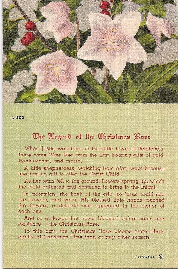 The Legend of the Christmas Rose--Christmas Rose is also known as the Pointsettia