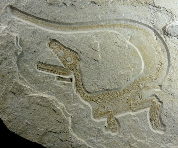 With 98 per cent of its skeleton preserved, this young predatory theropod from southern Germany may be the most complete dinosaur ever found.