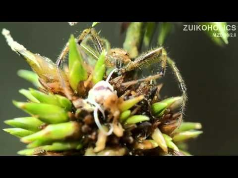 M.ZD 60mm f/2.8 macro video clip