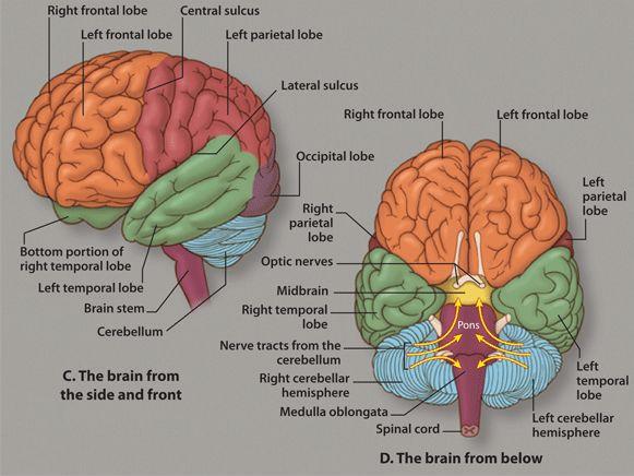 Brain - human brain diagrams detailed information, Now let ...