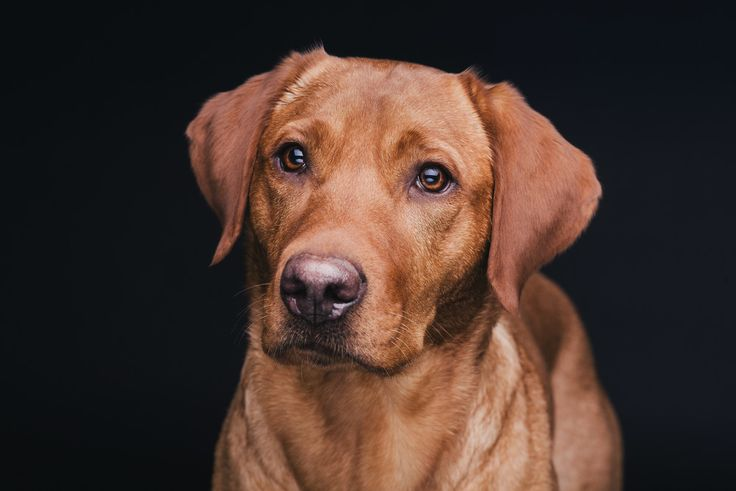 fox red labrador. This is a good idea of how Cooper may look after he has fully matured. Absolutely georgeous.