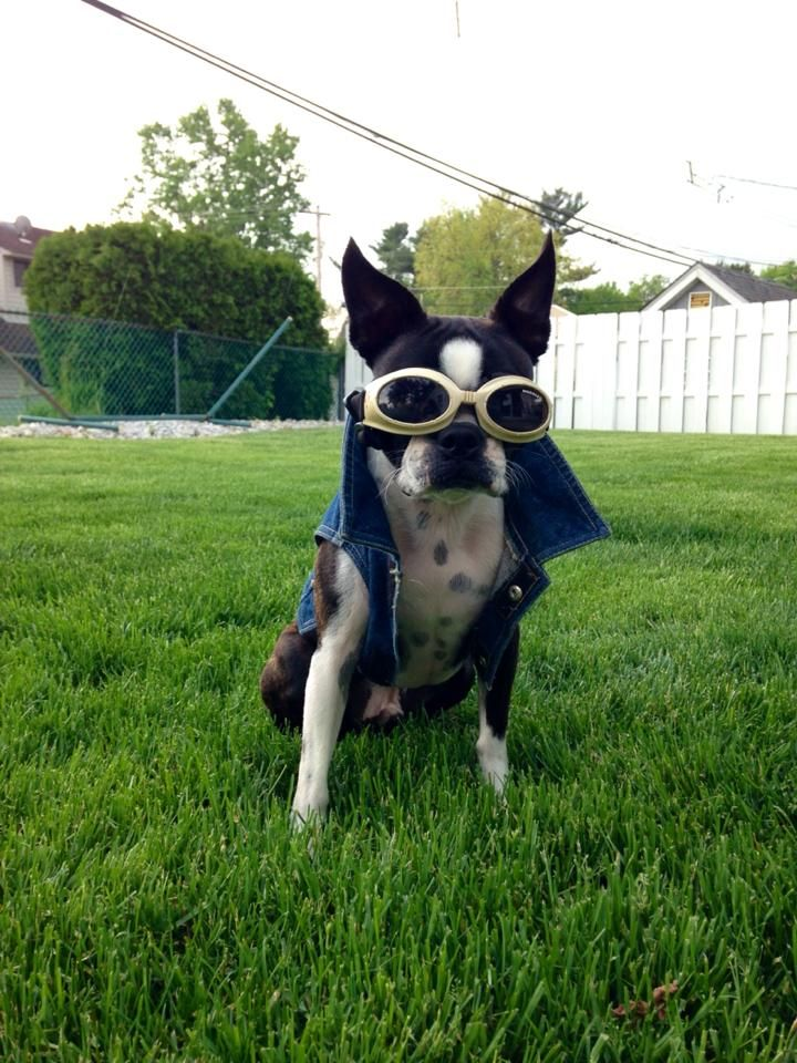 Cool Guy named Louie in the Backyard (Photo) - http://www.bterrier.com/cool-guy-named-louie-in-the-backyard-photo/