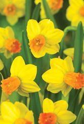 Narcissus Jetfire - Daffodil Bulbs