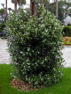 Confederate Jasmine- evergreen vine Zone 7-10… yay!