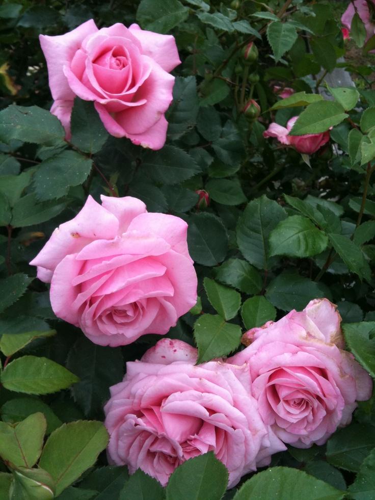 1000 images about rosen englische rosen david austin. Black Bedroom Furniture Sets. Home Design Ideas